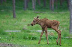 Kostenloses Bild auf Pixabay - Hart, Kalb, Elch-Wasa, Zoo, Ähtäri