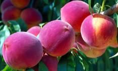 Reliance Peach  Our most cold-tolerant peach. Originally developed in New Hampshire, this tree produces a heavy crop of fruit as far north as Canada, even after frigid winters. Peaches are medium to large with a sweet, mild flavor. Features a flush of pink flowers in early spring. Ripens in early August. Self-pollinating. zones 4-8