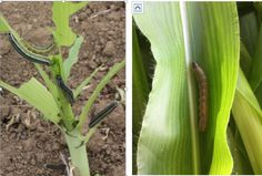 Kenneth Wilson, Lancaster University A combination of native African armyworms and Fall armyworms from the Americas are ravaging staple crop. Lancaster University, Southern, Africa, Big