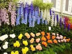 Blackmore-Langdon-Begonias | Blackmore & Langdon begonias and delphiniums.