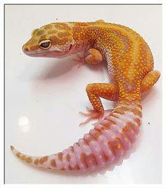 Leopard gecko.