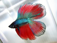Some interesting betta fish facts. Betta fish are small fresh water fish that are part of the Osphronemidae family. Betta fish come in about 65 species too! Betta Fish Types, Betta Fish Tank, Beta Fish, Types Of Fish, Betta Aquarium, Jellyfish Aquarium, Colorful Fish, Tropical Fish, Fish Home