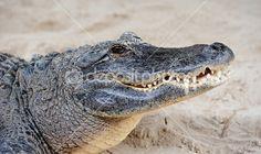 Alligator head closeup — Stock Photo © mcgphoto #2375220