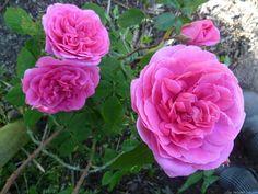 'Gertrude Jekyll' Rose Photo