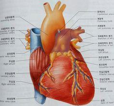 앞에서 본 심장의 구조