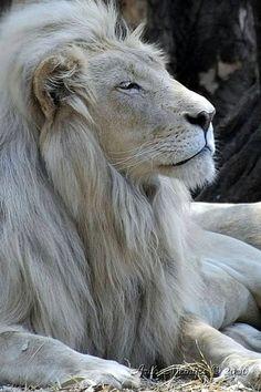 White Lion, Amazing pose.