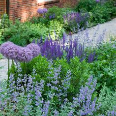 "Perennials catmint, sage, and lilac alliums pear together with salvia ""May"" and boxwoods."