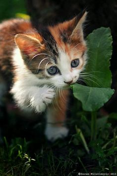 Calico kitten, I fear that one day I will become the crazy cat lady because I love cats so much Baby Kittens, Cute Cats And Kittens, I Love Cats, Kittens Cutest, Kitty Cats, Crazy Cat Lady, Crazy Cats, Gato Calico, Calico Cats