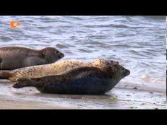 Ein Seehund wurde in der Weser gesichtet. Spaziergänger sahen das Tier am Weserwehr bei Bremen. Für Experten ist das allerdings keine Überraschung: &Seehunde sind einfach neugierige Tiere&, sagte Nadja Ziebarth vom BUND. &Sie schwimmen den Fischen hinterher.&...