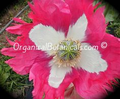 Izmir Afghan GMO Somniferum Poppy *Special* SUPER Seeds 2016