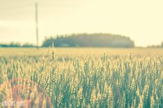 Santun Maja: Liian harvoin  #photography #inspiration #summer #finland #finnish #field #wheatfield #sunset