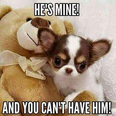 ... said the bear. ~Chihuahua #chihuahuadaily #teacupdogs #teacupchihuahua …
