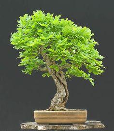 Bonsai - Quercus