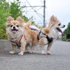 "@dekachiwa's photo: ""あと半日!! #chihuahua #dog #dogoftheday #dogofthedayjp #dogsofinstagram #チワワ #ふわもこ部 #chihuahuadog #chihuahuaofinstagram #animal #しっぽふぁさ部"""