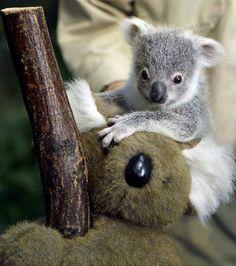 Koala beertjes they're not bears they're marsupials of te wel buideldieren