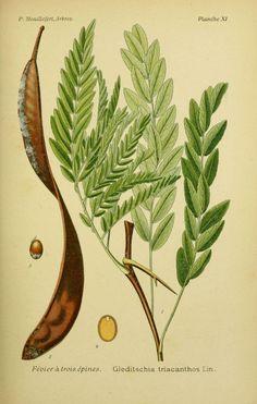 img / trees shrubs designs / drawings trees and shrubs February 0063 has three spines - Gleditschia triacanthos.jpg
