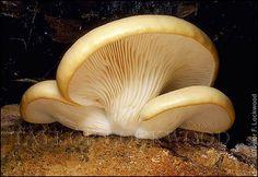 Pleurotus ostreatus  toxic but beautiful!