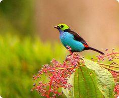 Paradise Tanagra is tiny but very beautiful blue bird.