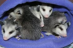 Five very cute baby opossums. - Second Chances Wildlife Ctr.