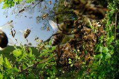 Honey bee (Apis mellifera) swarm, Germany