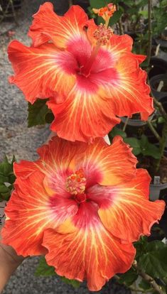 hibiscus bud falls off Hibiscus Tree, Hibiscus Plant, Hibiscus Flowers, Exotic Flowers, Amazing Flowers, Beautiful Flowers, Tropical Landscaping, Tropical Plants, Tropical Flowers