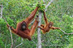 Baby orangutan and mother from Tanjung Puting National Park in Kalimantan, Indonesia #travel2indonesia @Indonesia Travel