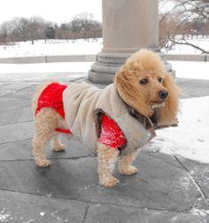#Poodle #poodles My Buddy