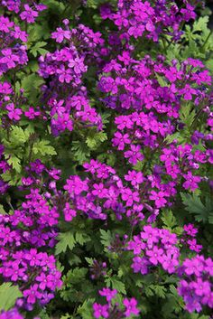 Verbena Canadensis - Rose Verbena:  Full sun; groundcover; low, perpetual blooms late spring--late fall Edging Plants, Foliage Plants, Garden Plants, Verbena, Flowers Perennials, Planting Flowers, Low Maintenance Garden, How To Attract Hummingbirds, Lilac Flowers