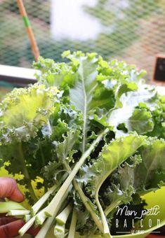 Faire pousser du chou kale dans un potager sur balcon avec Noocity - Mon Petit Balcon Le Chou Kale, Pots, Parsley, Celery, Cabbage, Herbs, Vegetables, Balconies, Cooking Kale