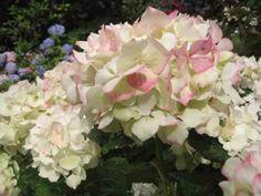 Hydrangea hortensis Piamina
