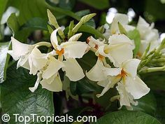 pictures of frangipani vine | Link to this plant: http://toptropicals.com/catalog/uid/chonemorpha ...