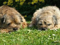 Border Terriers. The fluff is out of control!