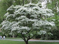 Chinese Fringetree Named for its clustered, snow-white fleecy flowers, the broadly spreading Chinese Fringe Tree casts light shade with rounded leathery leaves. This deciduous Olive family member is a captivating, four season specimen displaying blue, egg-shaped summer fruit, warm yellow autumn foliage and peeling gray-brown bark in winter. Well sized for a lawn or small yard, it's easily cultivated in moist, loamy soil. Grows slowly. Large Band.  Blooms June.