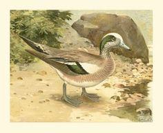 Green Wing Teal (J. L. Ridgway)