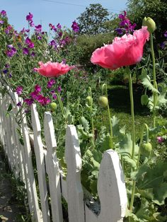 Poppies with sweet peas