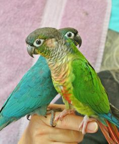 Conures are the most wonderful little parrots.  One is Turquoise and the other a Fancy  Maroon Belly.