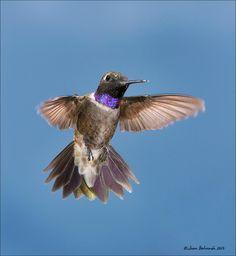 Black-chinned Hummingbird  Archilochus alexandri  Common summer resident