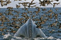 A humpback whale dives for krill amidst thousands of short-tailed shearwaters (Pic: BBC) Underwater Creatures, Ocean Creatures, All Gods Creatures, Underwater World, Beautiful Ocean, Amazing Nature, Planet Pictures, Costa, Earth Photos