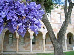 Jacaranda, University of Queensland by stephenk1977 #queensland #brisbane #spring