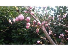 Fiori rosa fiori di pesco.. eh, sì! Aveva ragione il grande Lucio! http://hermioneat.blogspot.it/2016/03/unfiorealgiorno-7.html