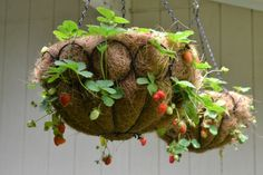 "Strawberry Ball in 12"" round hanging container with removable coconut fiber liner with potting soil arranged in a circular fashion"