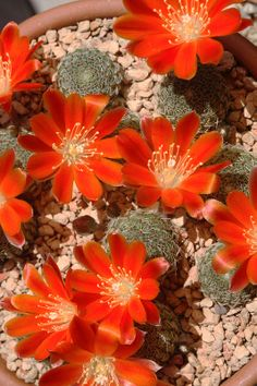 Rebutia teresae.  Such large flowers for small cacti... I really want a tiny cactus.