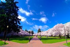 Amazing Cherry Blossom @ UW by Kyle~, via Flickr