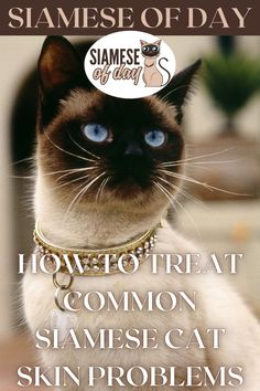 Keep in mind that if you notice fur throughout the house, it could simply be due to the Siamese cat's normal shedding. Although Siamese cats are known for their low shedding due to their shorter coats, they do shed seasonally, so you may notice more fur around the house throughout the autumn and spring months. #siamese #siameseofday #cats #pets #kittens #Blog #cattips #cathealth #kitten #justcats