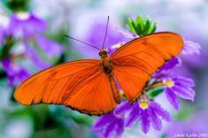 julia butterfly species - Google Search