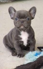 grey french bulldogs - Google Search