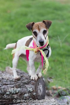 Georgia Jack Russell Rescue Adoption And Sanctuary Sadie Sweet Adoptable Jackrussell Terrier Dog Jack Russell Terrier Jack Russell I Love Dogs