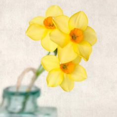 Yellow Daffodil Flower Photography Print by Allison Trentelman