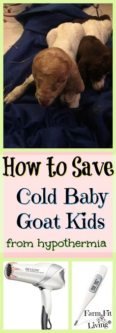 Do you have a cold and lifeless goat kid in your goat pen? You need these tips for how to save cold baby goat kids from hypothermia and death. Raising Farm Animals, Raising Goats, Cabras Boer, Breeding Goats, Goat Shelter, Goat Pen, Show Goats, Goat Care, Boer Goats