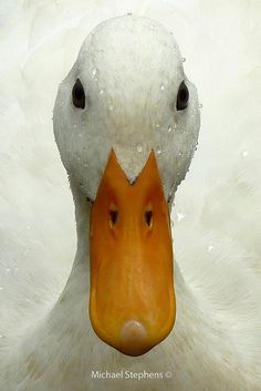 White duck face | by Mikey Stephens
